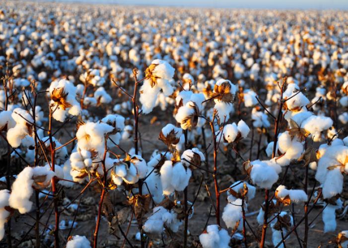 Cotton_0